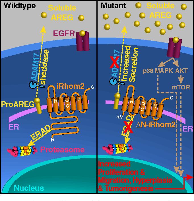 iRhom2蛋白的缺失会导致脂肪组织的能量消耗增加